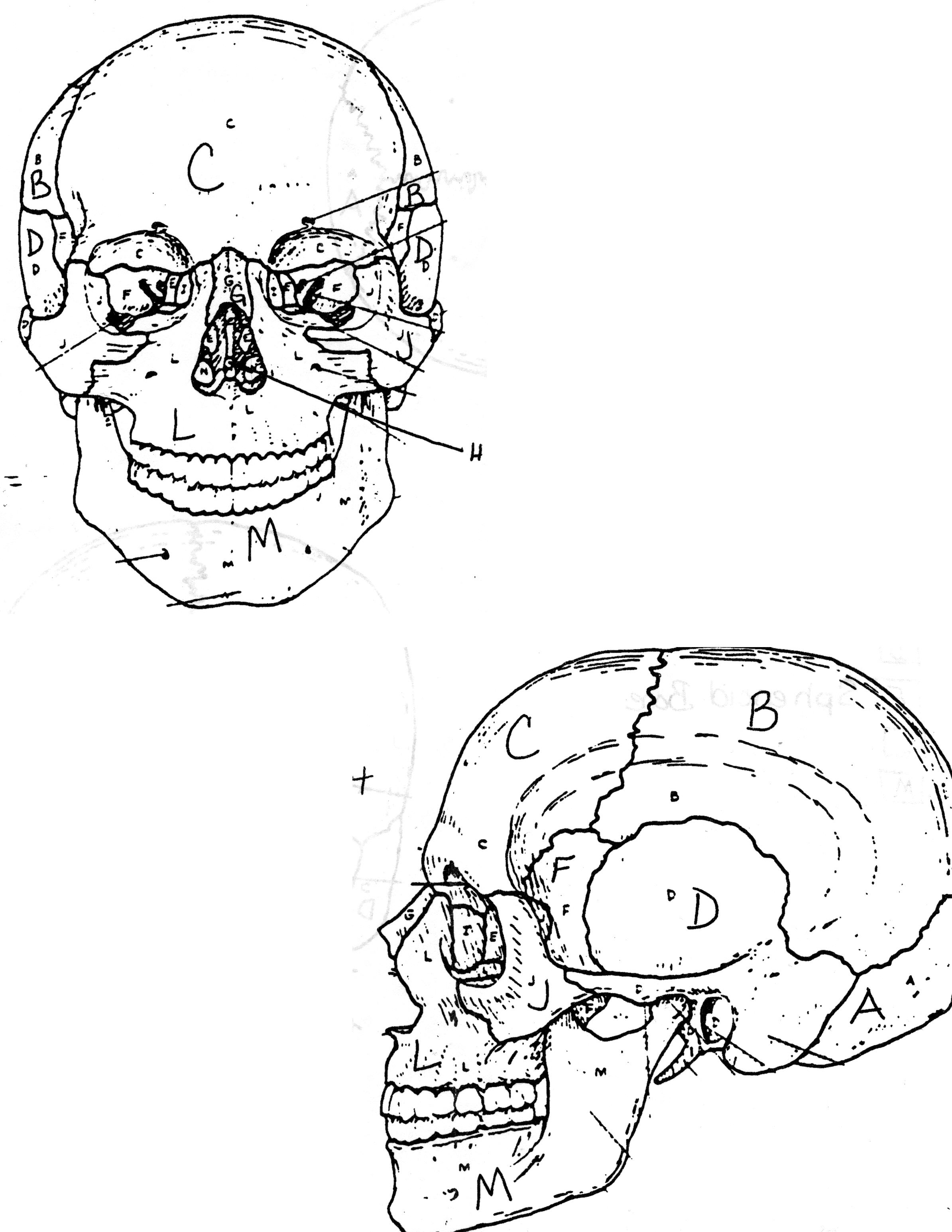 Skull Anatomy Coloring Pages Coloring